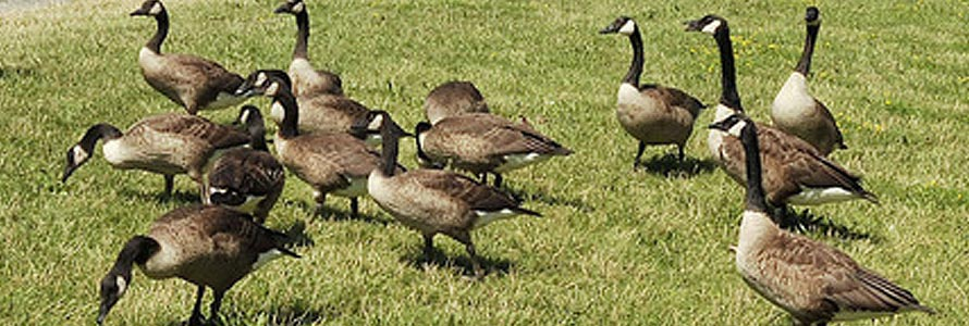 Dont Feed The Geese